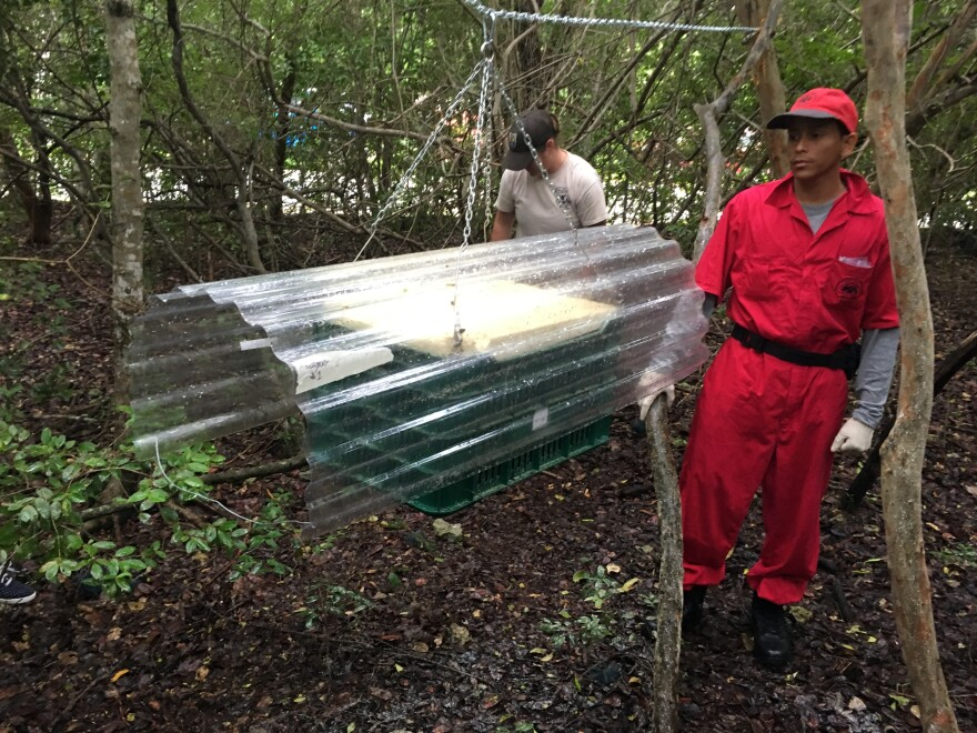 Orlando Pitti, who works for the joint U.S.-Panama commission to eradicate screwworms, is working on sterile screwworm fly releases in the Keys.