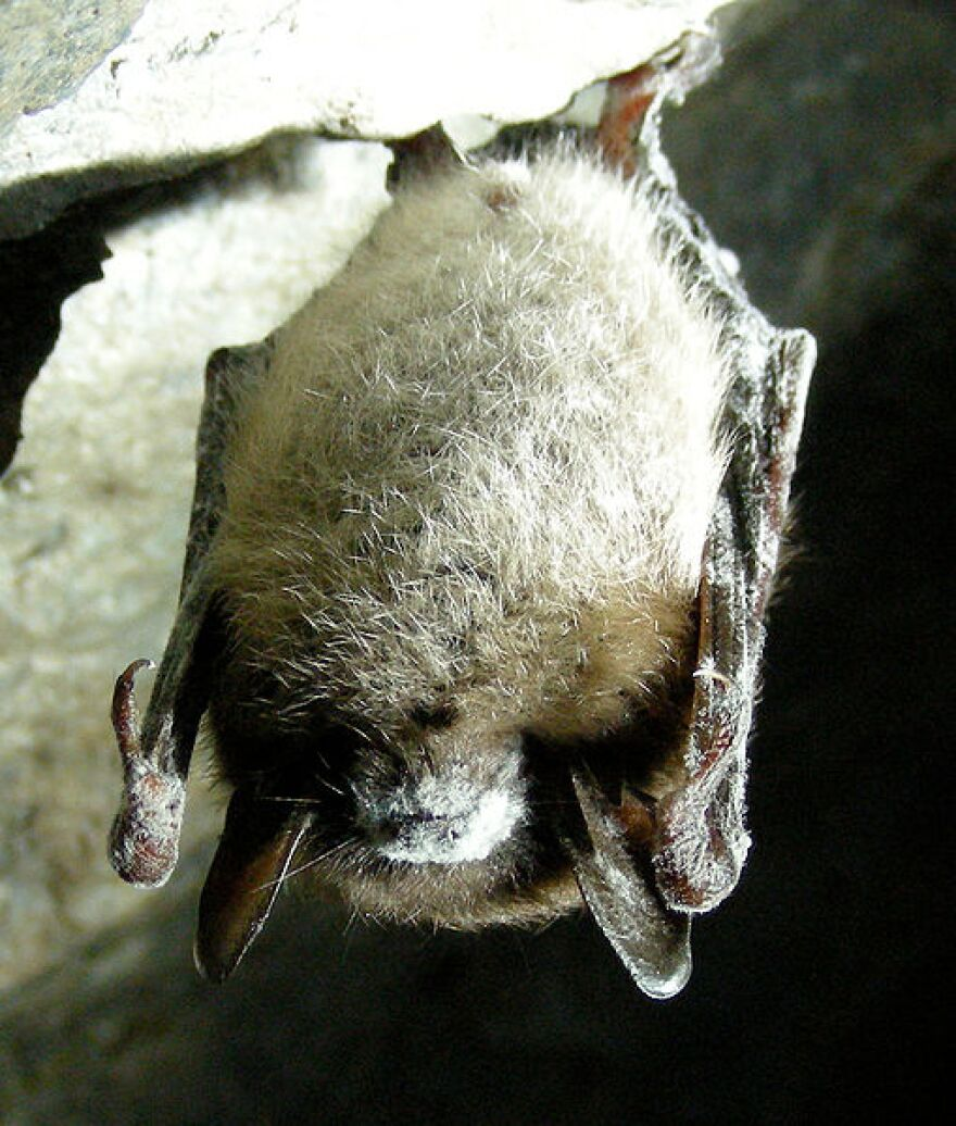509px-Little_Brown_Bat_with_White_Nose_Syndrome_(Greeley_Mine,_cropped).jpg