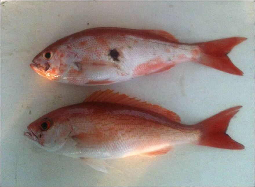 Gulf-Oil-Spill-Sick-Fish-two-fish-lesions_0.jpg
