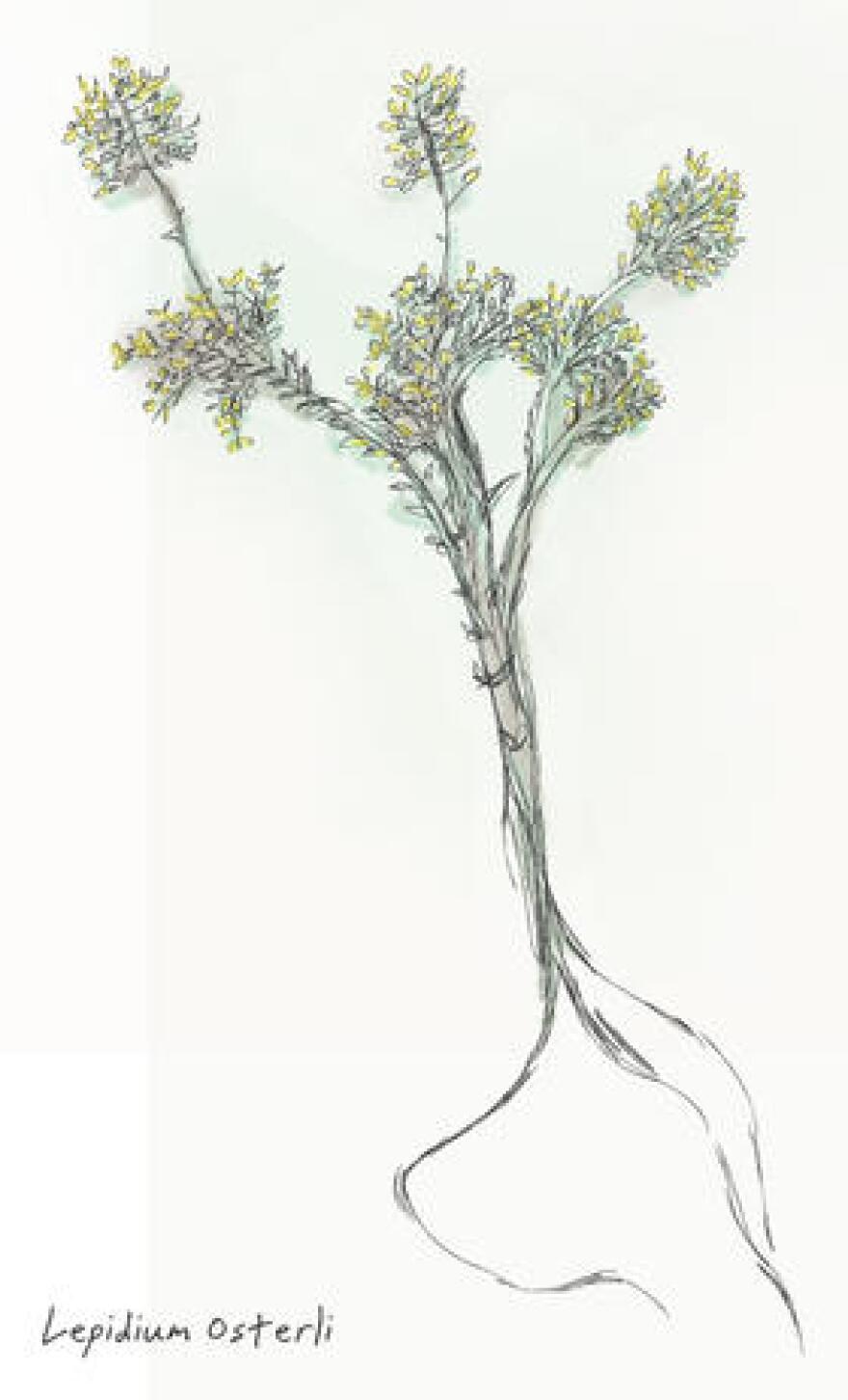 Lepidium Osterli, also known as Ostler's peppergrass, Ostler's pepperweed or Ostler's pepper plant.
