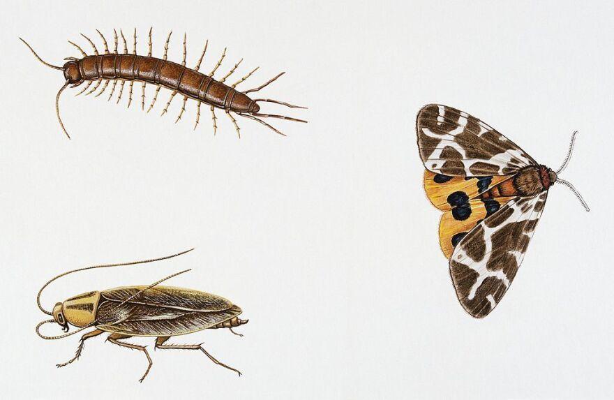 Garden centipede (Lithobius forficatus), Lithobiidae, German cockroach (Blattela germanica), Blatellidae, Garden tiger moth (Arctia caja). Artwork by Dale Edna Evans.