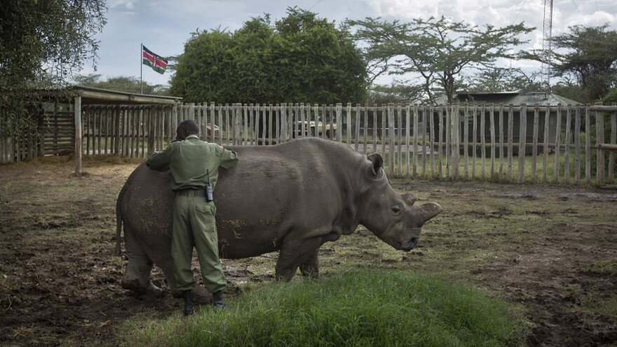 Najin, a female northern white rhino, gets a pat from keeper Mohamed Doyo. Najin, who lives at the Ol Pejeta Conservancy in Kenya, is one of only five of its subspecies left in the world.