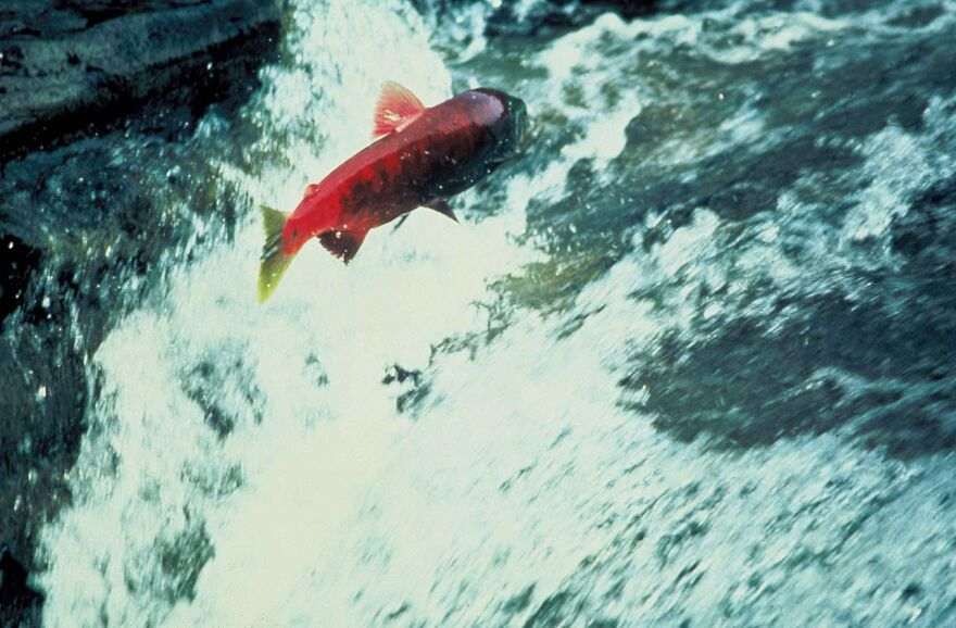 salmon_jumping_out_of_water_Alaska.jpg