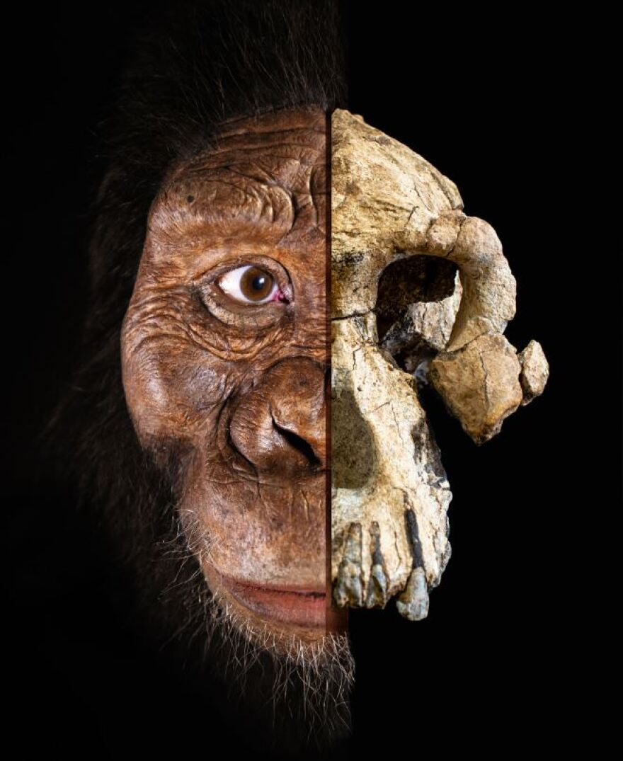 face and skull of ancient hominin