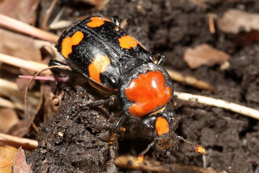 2_American_burying_beetle_photo_by_Dan_Kirk_Saint_Louis_Zoo_.jpg