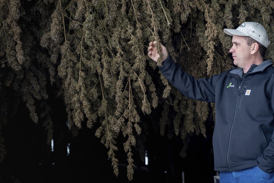 Director of Global Production, Brian Furnish, inspects hemp plants that have been hung to dry at Ananda Hemp in Cynthiana, Ky., Thursday, Jan 24, 2019.