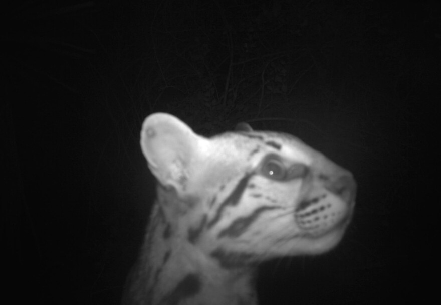 A young male ocelot was detected at Laguna Atascosa National Wildlife Refuge, where 13 of the nation's ocelots reside. A monitoring project run by the U.S. Fish and Wildlife Service has detected three previously unknown ocelots in the past year.