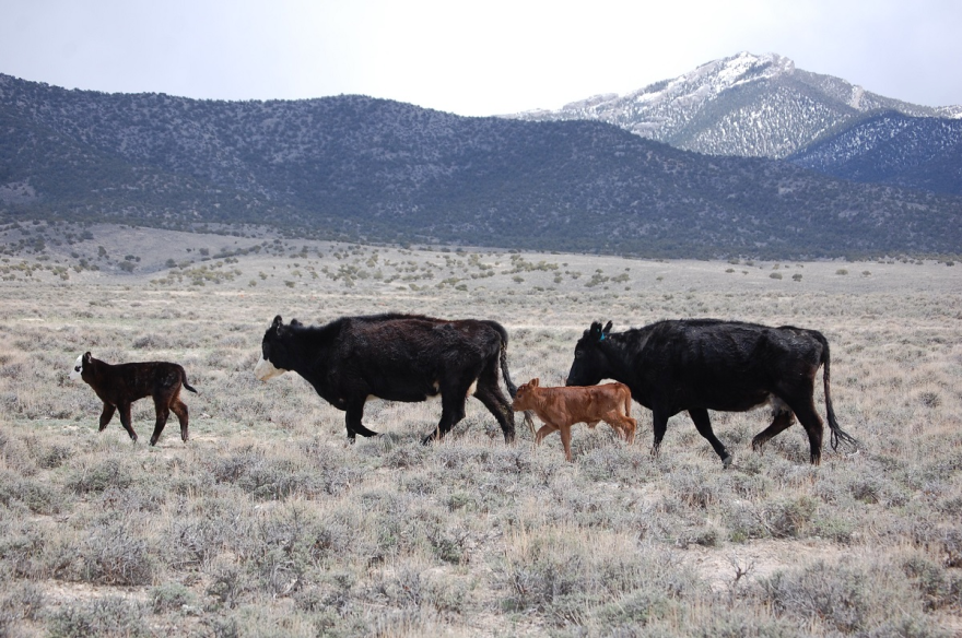 Photo of cattle grazing.