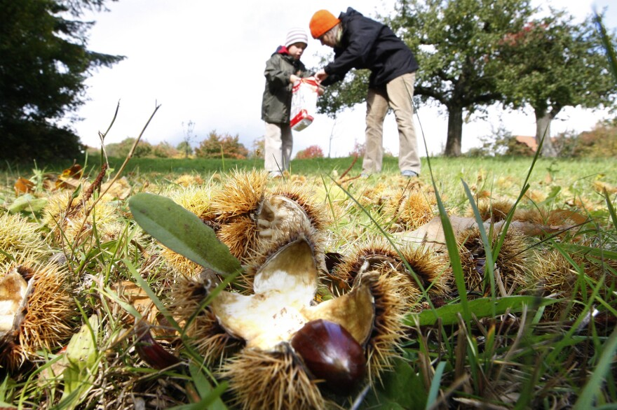 A woman and a child pick up chestnuts on a field near Heidelberg, southwestern Germany, on Friday, Oct. 3, 2008. (Daniel Roland/AP)