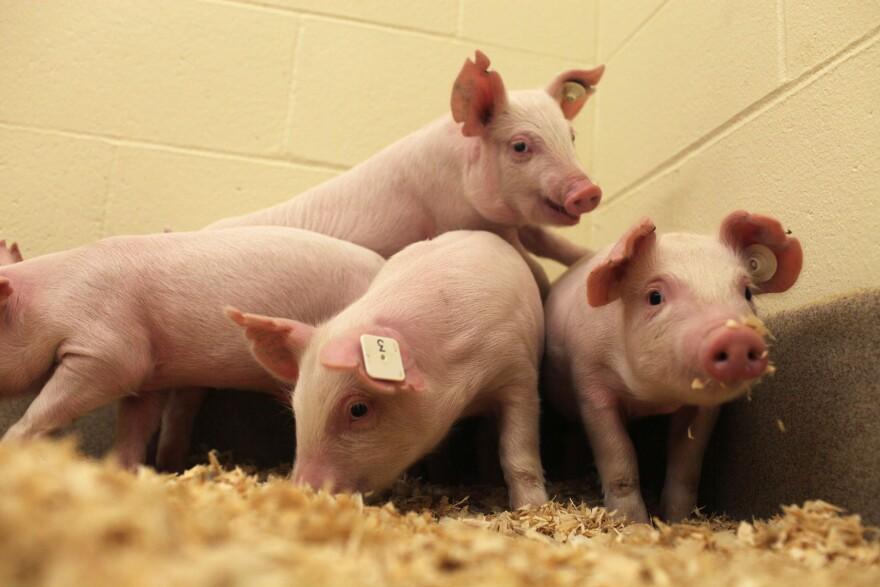 012916_GE_pigs.jpg