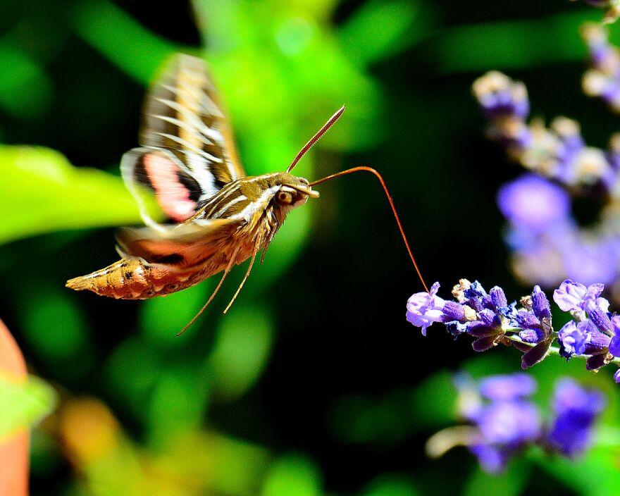 1280px-Hummingbird_Moth_(9687769149)_0.jpg