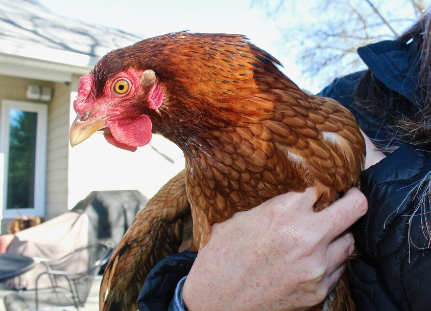 Anne Miller decided to name her hens Thelma and Louise after one of them temporarily flew the coop. This is Louise.