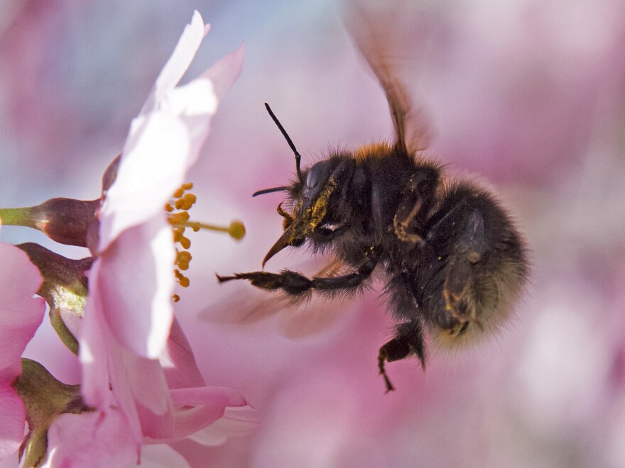 Scientists say bumblebees can sense flowers' electric fields through the bees' fuzzy hairs.