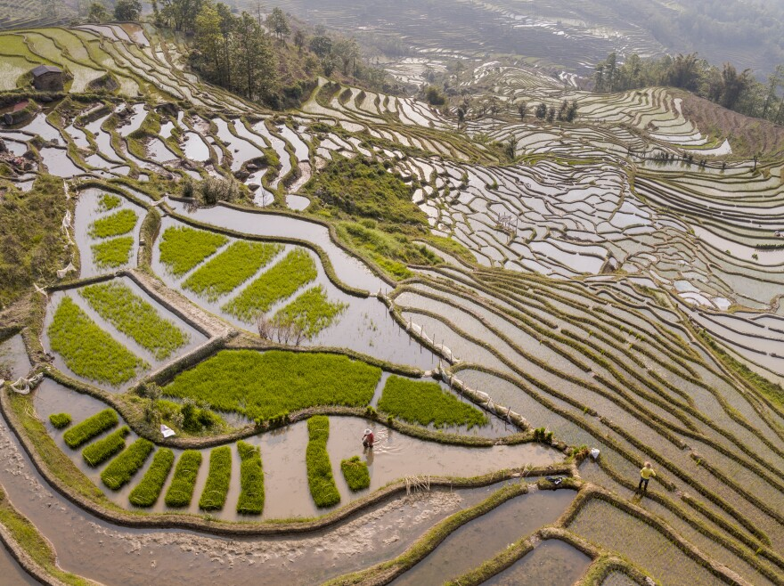 The rice terraces of Yuanyang County, China, are among the largest in the world.