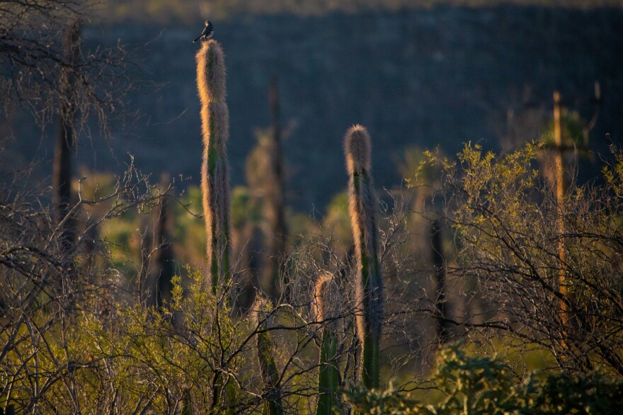 Scanning the landscape, a northern mockingbird uses a tall cactus on the edge of our property as a lookout.