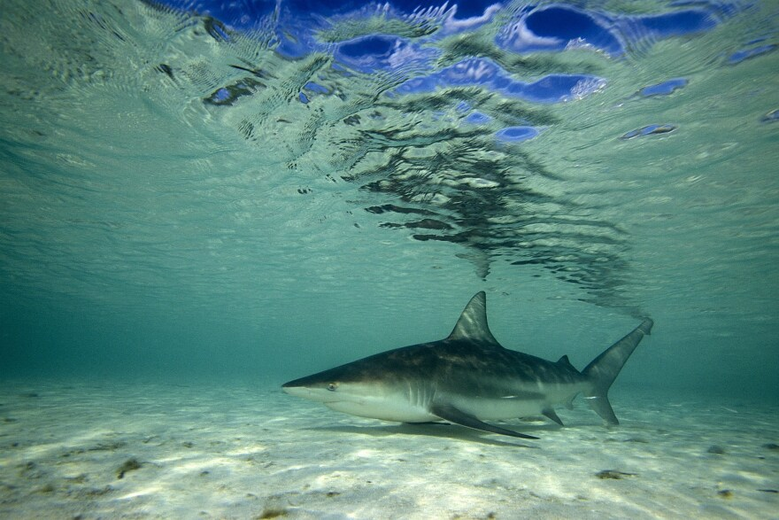 A blacktip shark in the Atlantic.