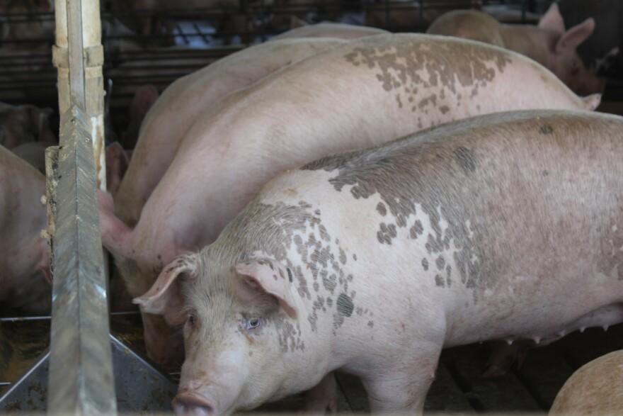Pig-at-feeder.jpg