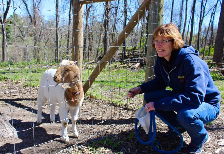 Carol Frerker, supervisor of Willoughby Heritage Farm in Collinsville with Goldie, who's been on honeysuckle duty this spring. April 2017