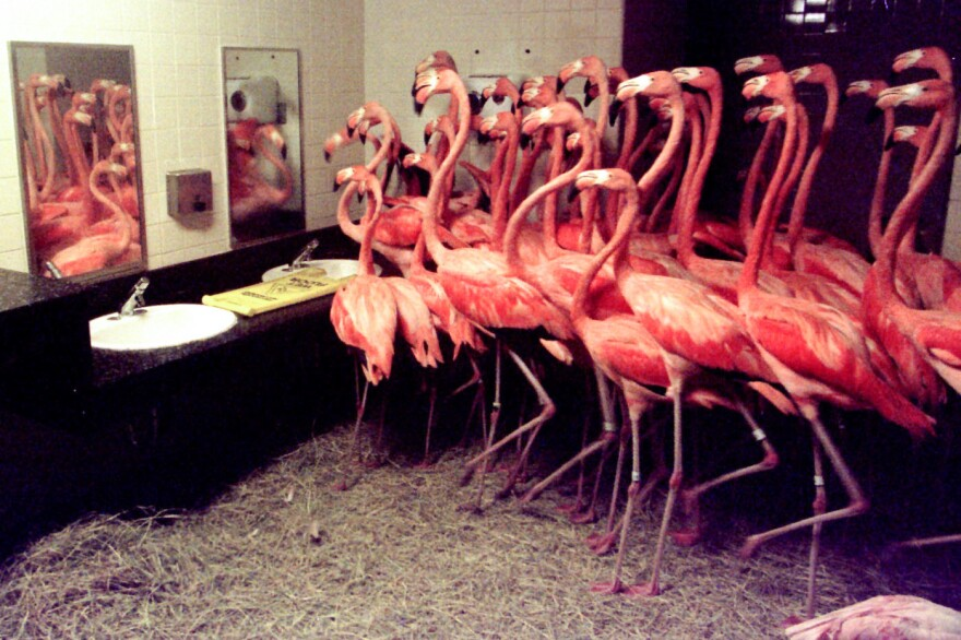 More than 50 Caribbean flamingos take shelter in a men's restroom at the Miami Metrozoo (now Zoo Miami) on Sept. 25, 1998. Zookeepers rounded up the birds to protect them from the effects of Hurricane Georges. This was not the first time the zoo had to corral flamingos in a restroom. They were also in there during Hurricane Andrew, six years earlier.