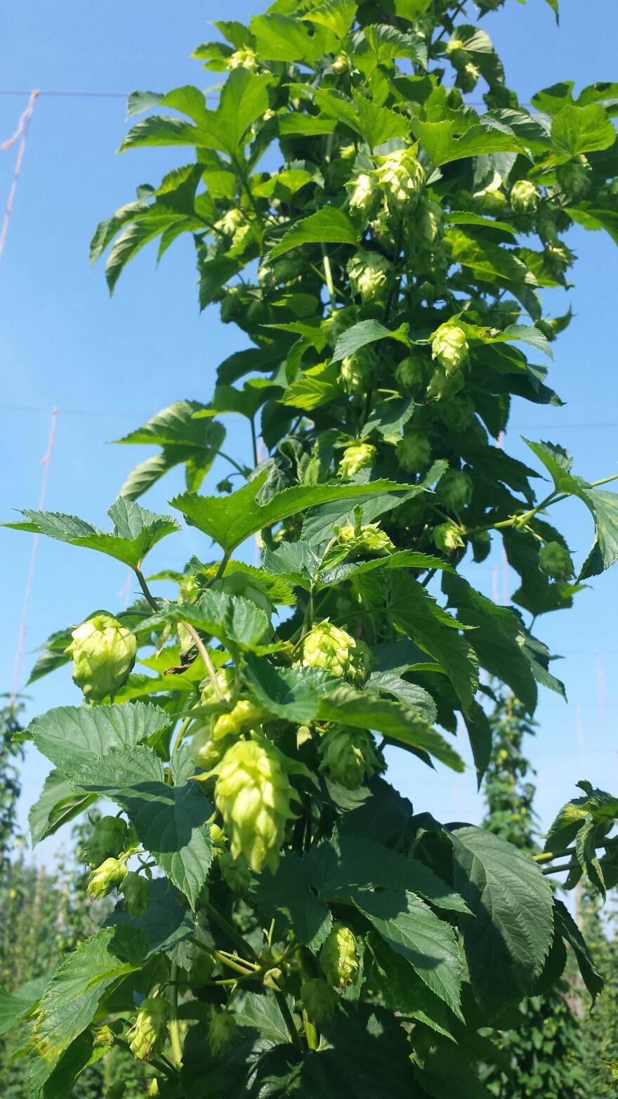 The climbing hops plant is known as a bine, not a vine.