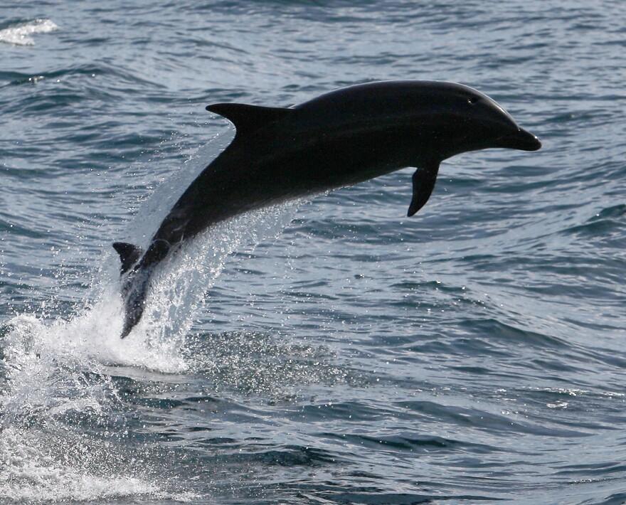 A bottlenose dolphin near Dana Point, Calif., in 2012.