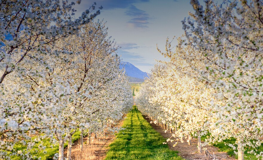 Photo of cherry trees in Payson, Utah.