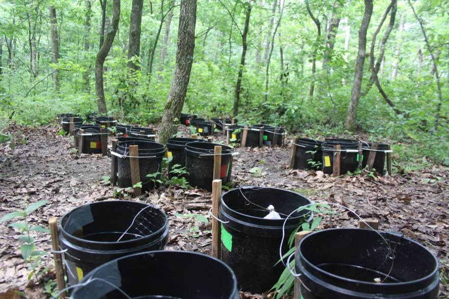 To understand how the invasive mosquito affected parasitism of the native species, Westby and an army of undergraduates set up a mosquito farm in the forest at Tyson Research Reserve.