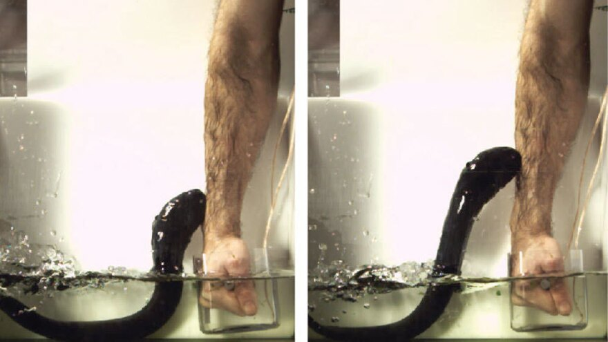 Ken Catania of Vanderbilt University lets a small eel zap his arm as he holds a device he designed to measure the strength of the electric current.
