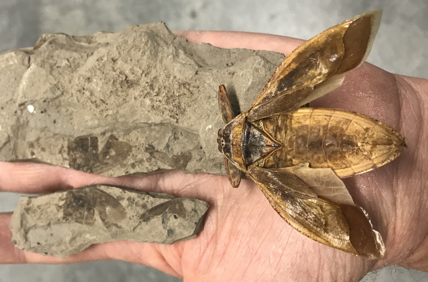 Photo of prehistoric winged bug and fossil.