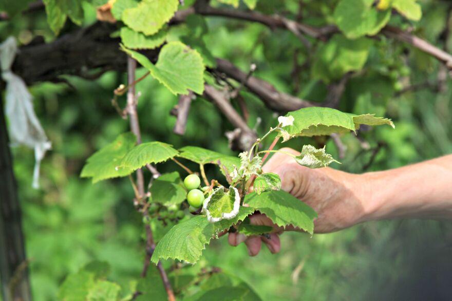 Organic farmer Margot McMillen holds a grape leaf damaged by pesticide drift on her farm, Terra Bella Farm, in central Missouri.