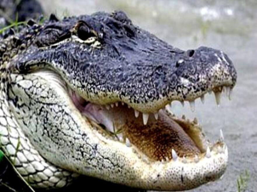 8-15-14_alligator.jpg