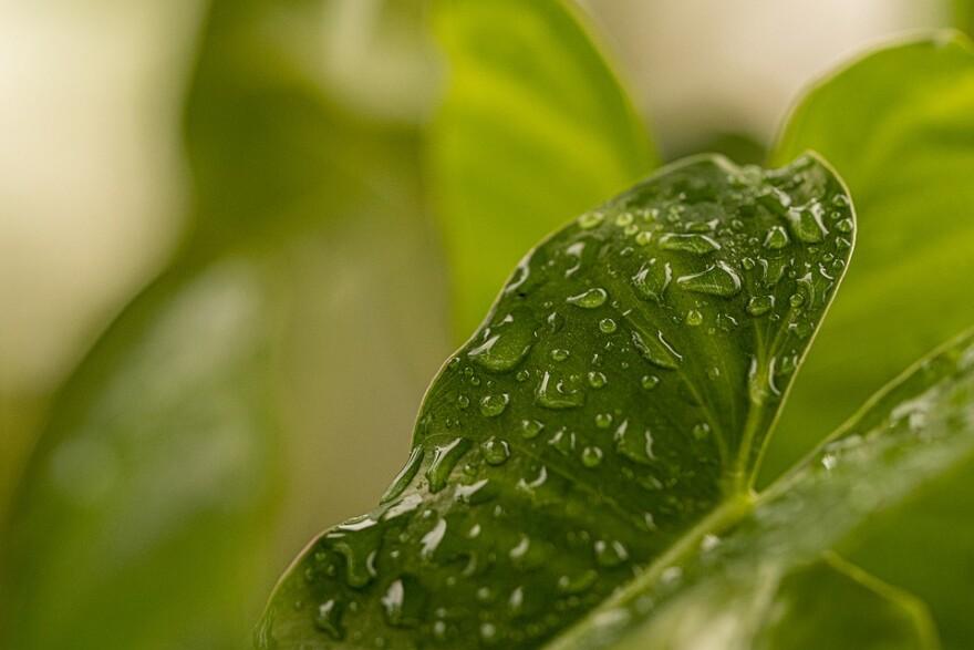 Leaf w raindrops.jpg