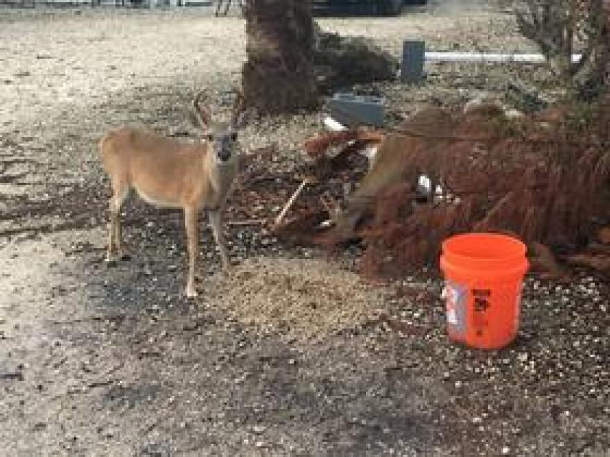 Providing food for the Key deer can harm them, either by providing food they can't digest or encouraging them to hang out near roads.