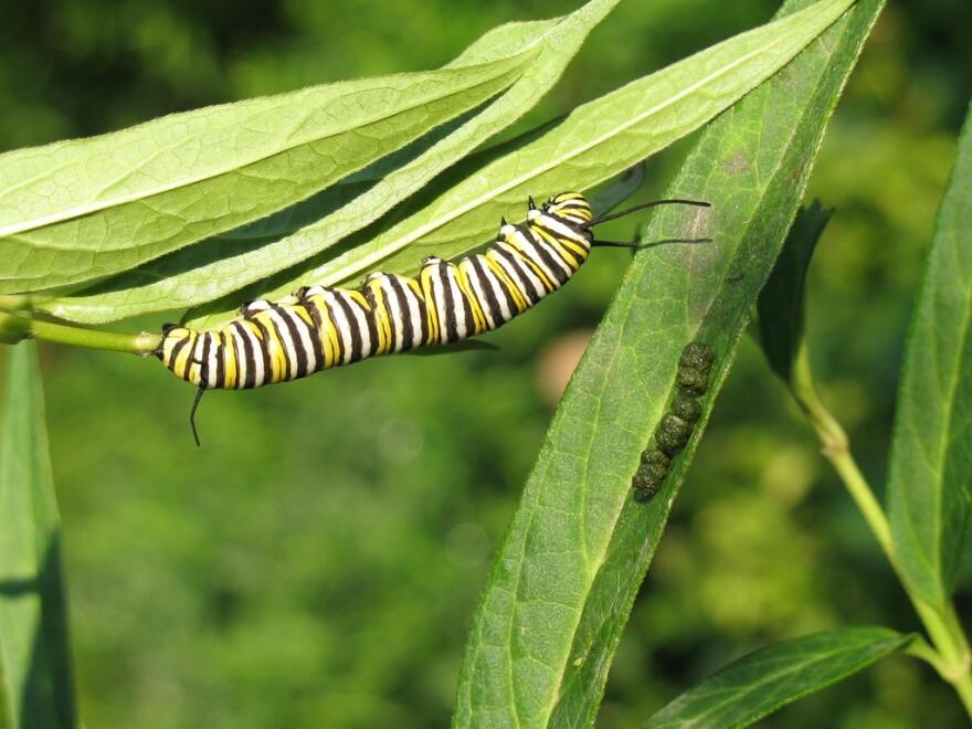 Monarch_caterpillar_milkweed_-_Lisa_Francis_-_Missouri_Botanical_Garden.jpg