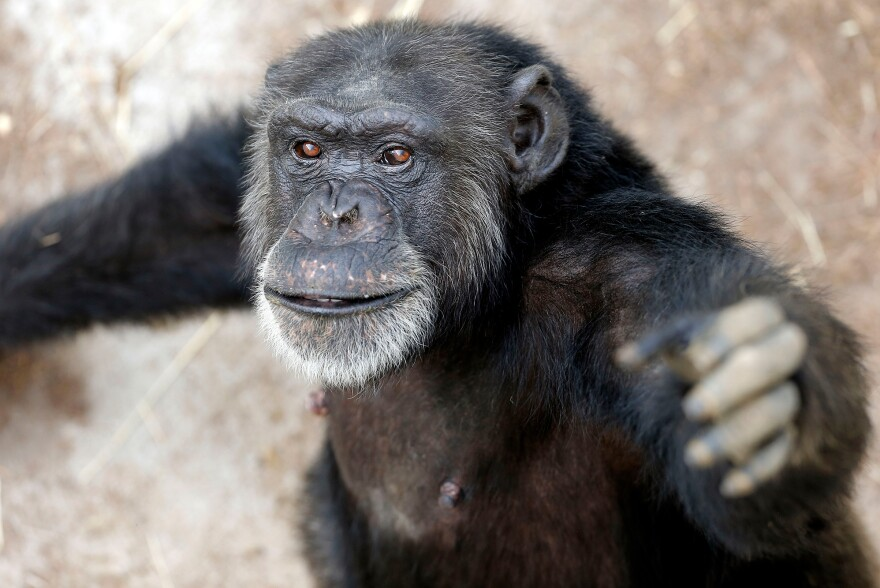 Since early 2013, 110 chimpanzees have been retired to Chimp Haven sanctuary in Keithville, La., from the New Iberia Research Center in Lafayette, La. That's the largest group of government-owned chimps ever sent to sanctuary. Sabrina, seen here, arrived at Chimp Haven in 2013.
