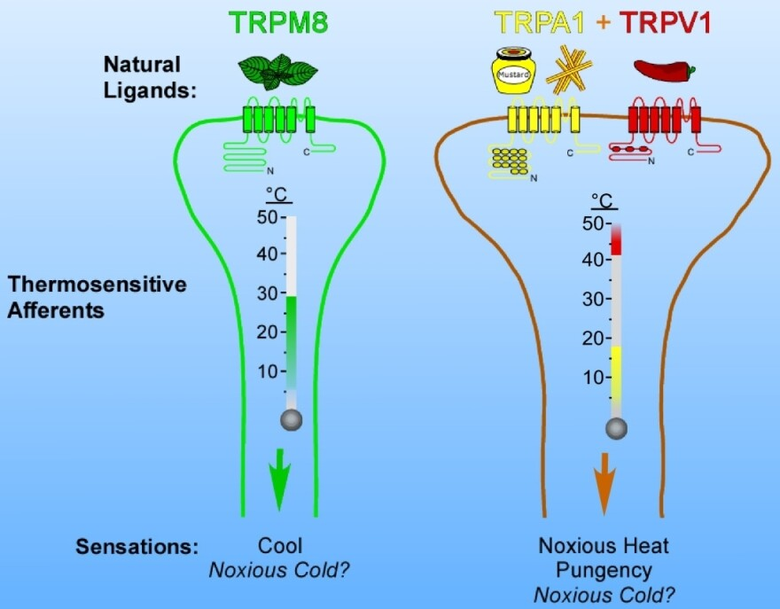 Why peppers feel hot and mint feels cool: Our nerves (afferents) have receptors that sense low and high temperatures. The hot detectors, like TRPV1, also sense molecules (natural ligands) in peppers and mustard oil. The cold receptor, TRPM8, detects molecules in mint, such as menthol.