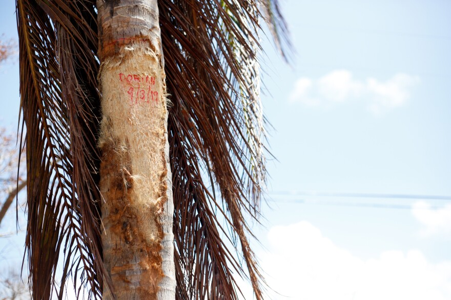 The height of flood water from Hurricane Dorian is marked on a palm tree outside of Steve Copperthwaite's home in the Queen's Cove neighborhood of Freeport, Grand Bahama on September 17, 2019.