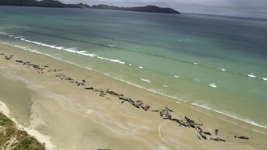 As many as 145 pilot whales lie beached Sunday at Mason Bay, on Stewart Island, New Zealand. A hiker reported the mass stranding on Saturday.
