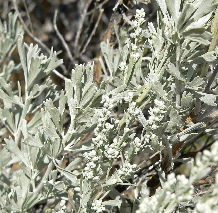 Big sagebrush leaves (Artemesia tridentata)