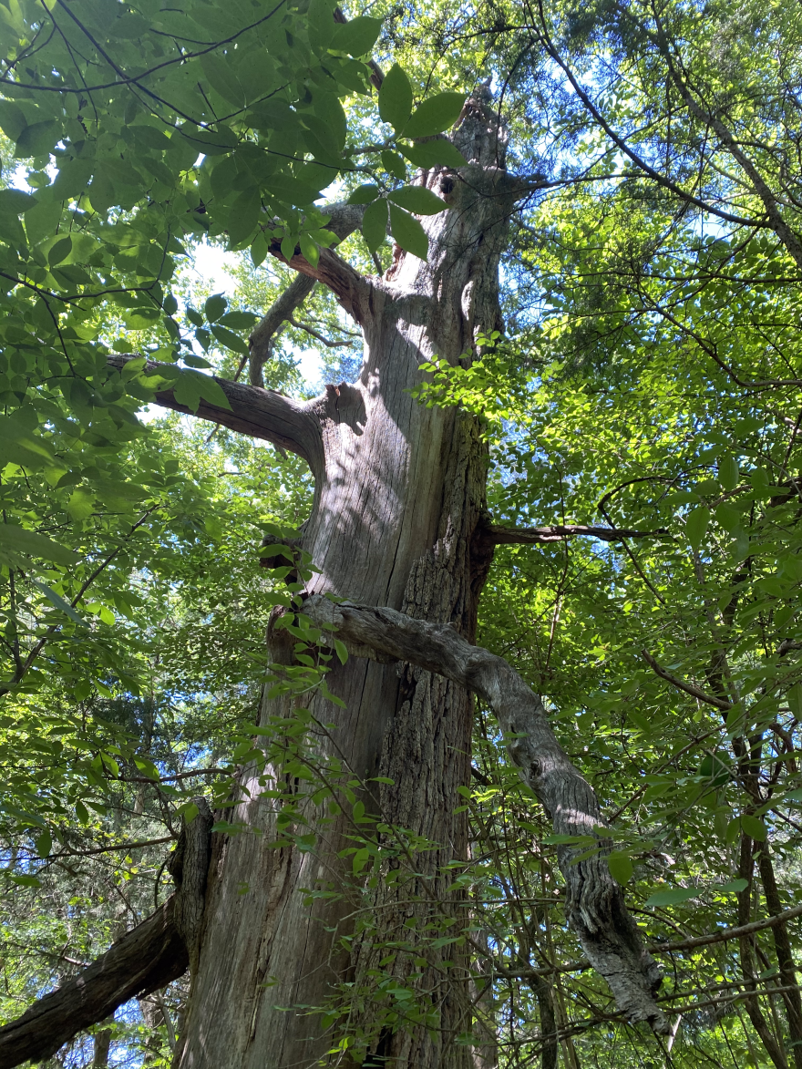 The trunk of Treasure Tree #17, an overcup oak is badly damaged from lightning and insect damage.