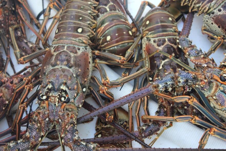 lobster5_0.jpg