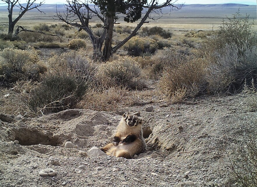 Camera trap image of an American badger burying a calf carcass by itself in Utah's Grassy Mountains, January 2016.