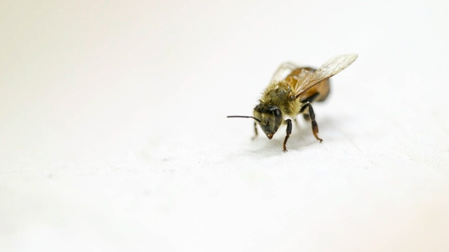 A honeybee is seen on the countertop of entomologist Steve Sheppard's lab at Washington State University. Sheppard is studying whether he can boost honeybees' immunity using liquid extracted from wood-rotting mushrooms.