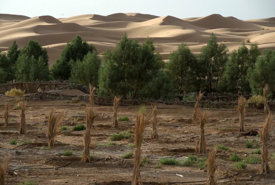 The Sahara desert creeps up on a palm field.