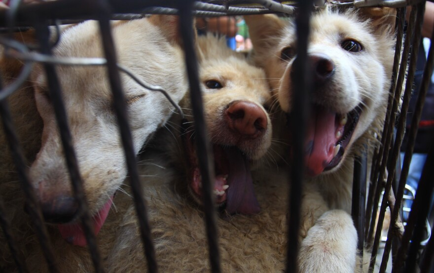 Dogs look out from a cage at a market on June 20, 2014 in Yulin, China. Festival goers celebrate the summer solstice by consuming dog meat, lychees and alcohol to ensure good health.