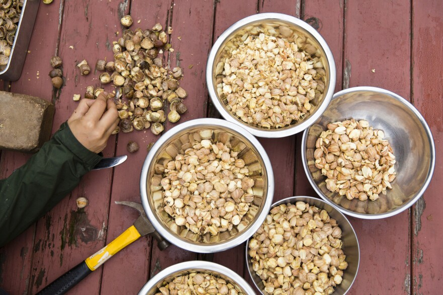To turn acorns into something edible, you've got to crack the shells, pick out the nut meats, weed out the bad ones, dry them and grind them into meal.