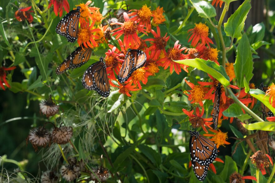Queen butterflies flock to flowers on a flame vine at the National Butterfly Center in Hidalgo County, Texas.