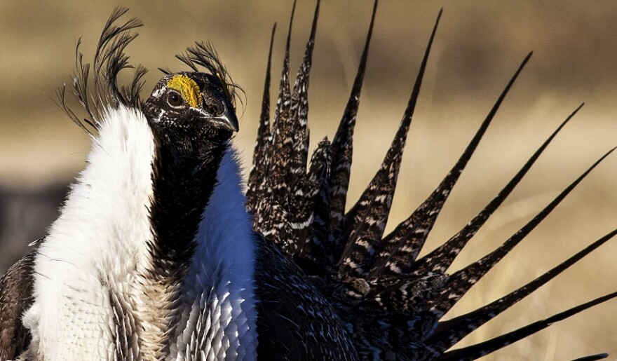 Hundreds of thousands of acres of oil and gas leases have been vacated by a federal judge, which is good news for the iconic sage grouse.