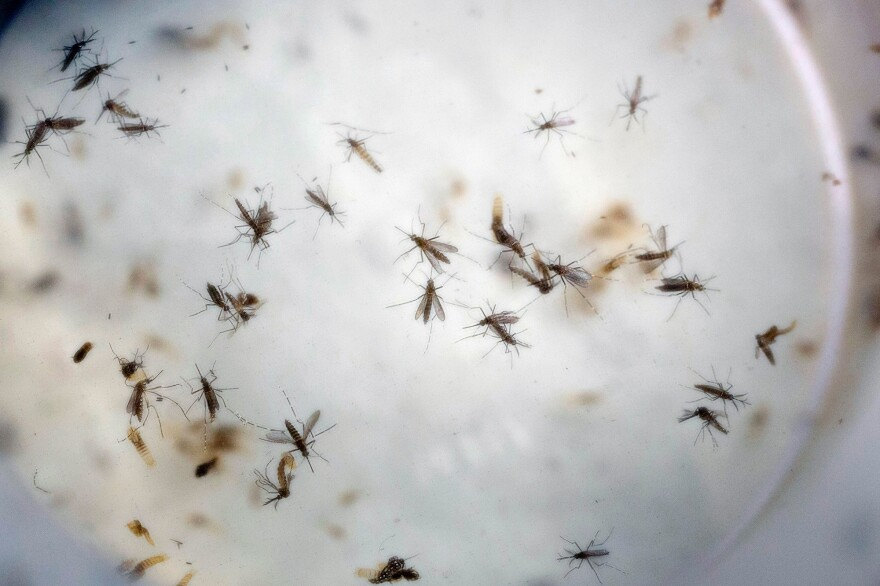 <em>Aedes aegypt</em>i mosquitoes, which have been known to carry the Zika virus, buzz in a laboratory in Cucuta, Colombia.