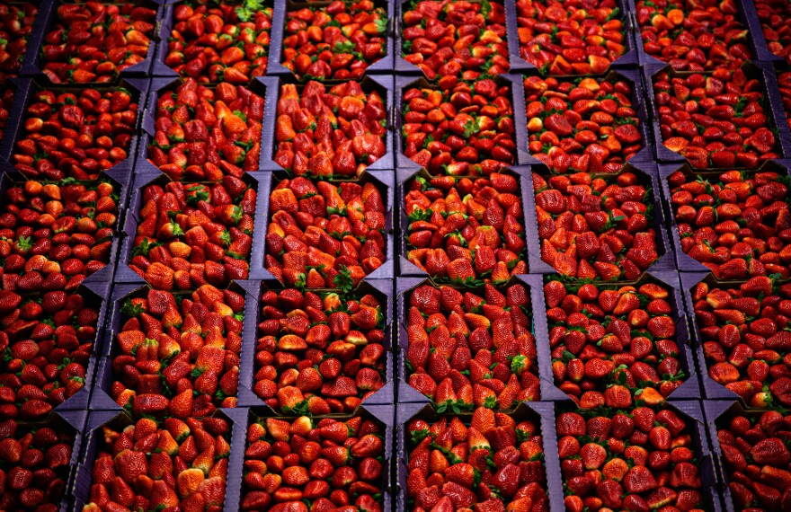 Strawberries are sorted into square batches, filling the frame of the photo.